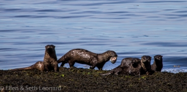 River otters