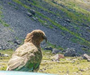 A kea (alpine parrot) in Fiordland
