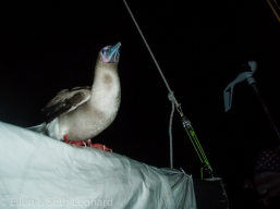 Red-footed booby rides on our boom to Australia!