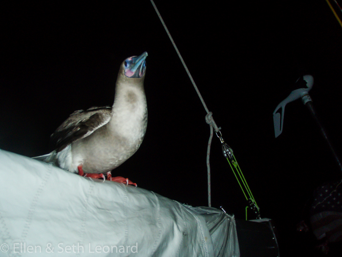 Red-footed booby onboard