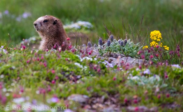 Marmot and wildflowers