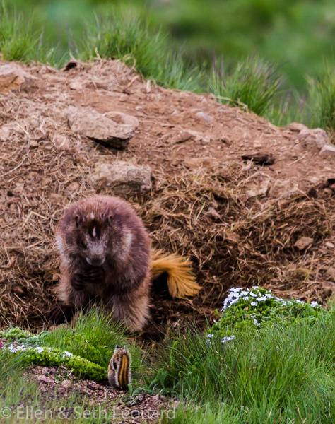Marmot meets chipmunk