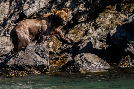 Brown bear leaving the water