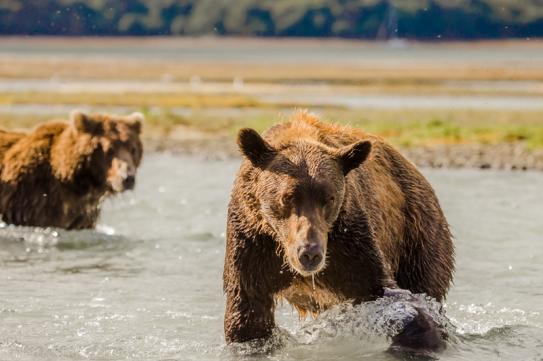 Bears fishing-2