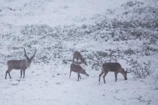 Denali - Caribou in snow