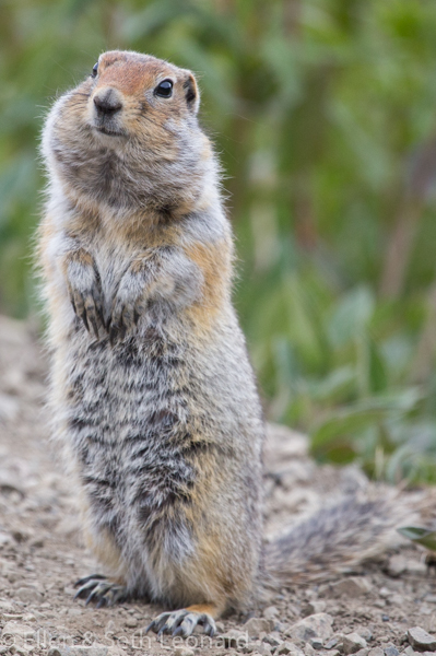Denali - Ground Squirrel