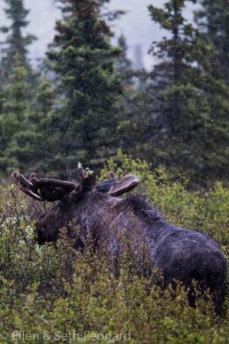 Denali - Moose in the rain