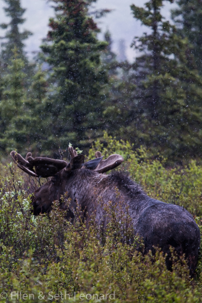 Denali - Moose in the rain