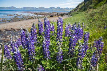 Lupine on Beaver Inlet
