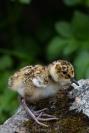 Baby rock sandpiper