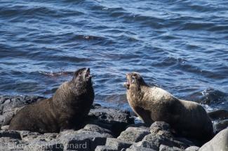 Bull fur seals in a minor dispute