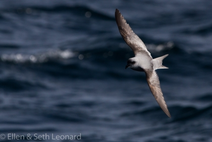 Fork-tailed storm petrel!!