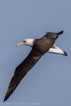 Laysan Albatross - 6.5ft wingspan!