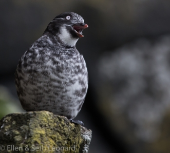 Maybe my favorite bird? A Least Auklet! (he's tiny - only 6 inches!)