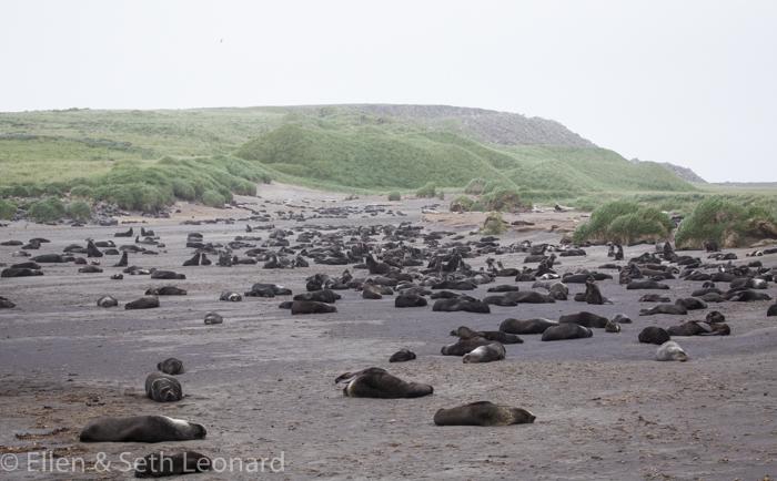 Northern fur seals, St Paul