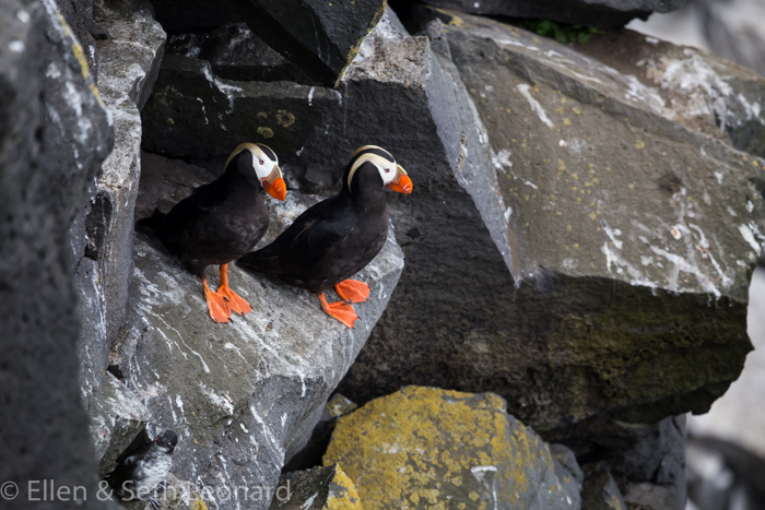 Tufted Puffins!