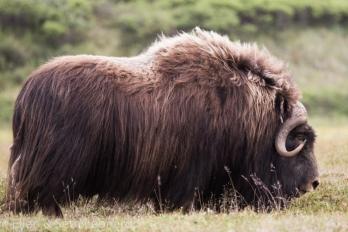 Big musk-ox