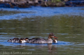 Merganser and chicks