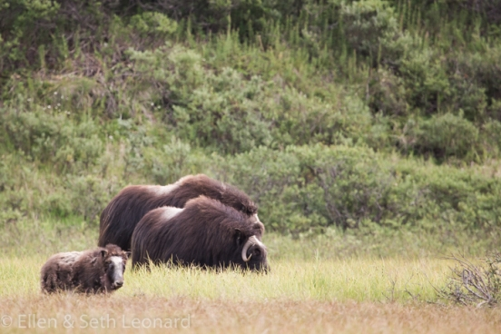 Musk-ox family