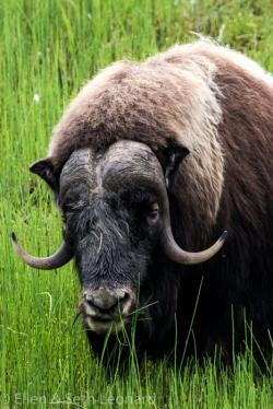 Musk-ox in the marsh