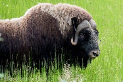 Musk-ox munching marsh grass