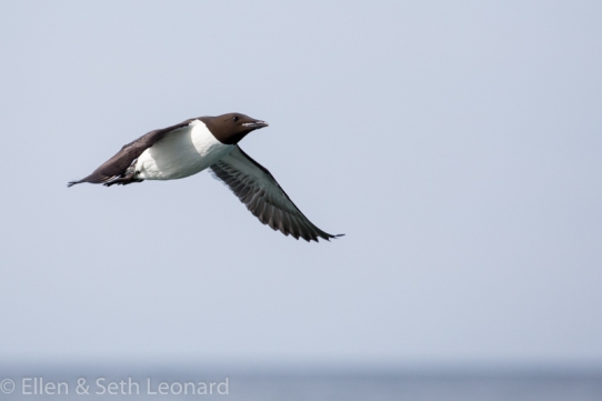Murre in flight