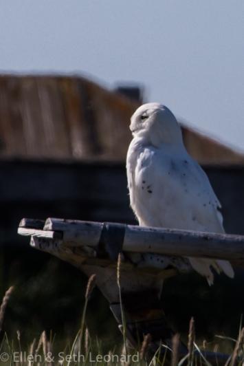 Snowy Owl on disused umiak