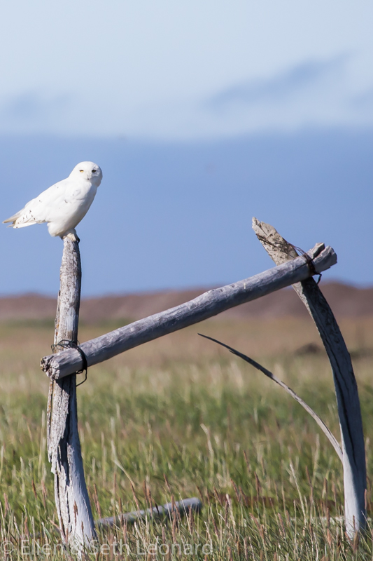 Snowy Owl on whalebone