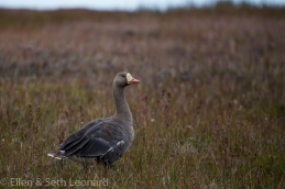 Pacific white-fronted goose