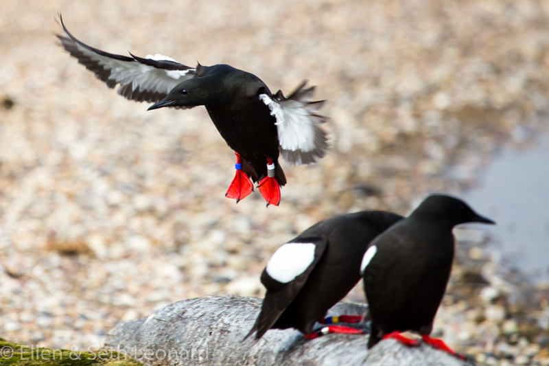 Black guillemot in flight
