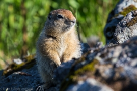 Arctic Ground Squirrel on the look-out for eagles
