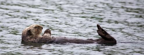 Sea Otter, Unalaska Island