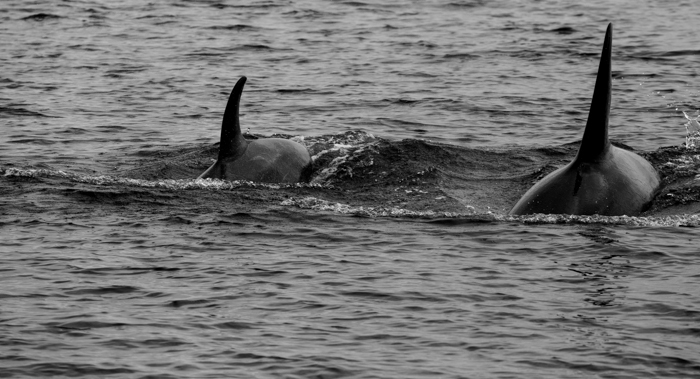 Orcas off Kodiak