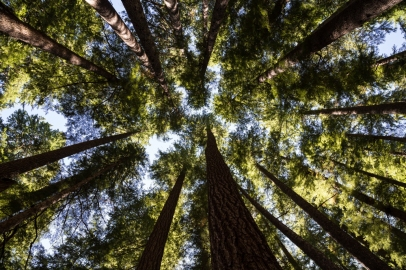 looking-up-through-the-temperate-rainforest-olympic-national-park