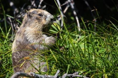 olympic-marmot