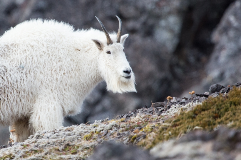 mountain-goat-olympics