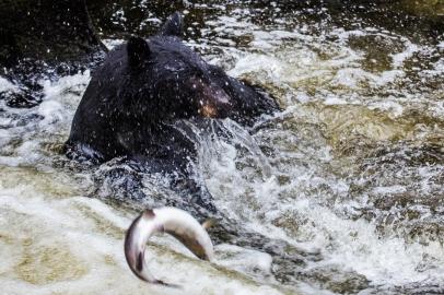 bear-and-salmon
