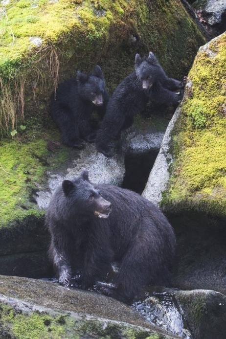Black bear family