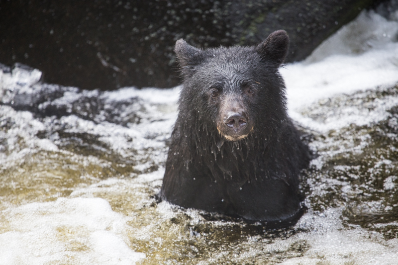 Black bear in river