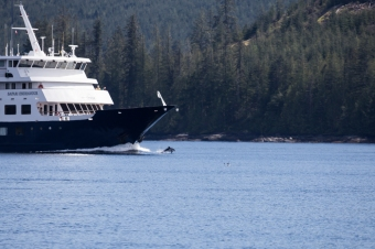 Dolphin plays in the bow wave of a small cruise ship in Johnstone Strait