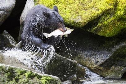 Fishing black bear