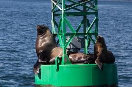 Steller Sea Lions on a nav marker