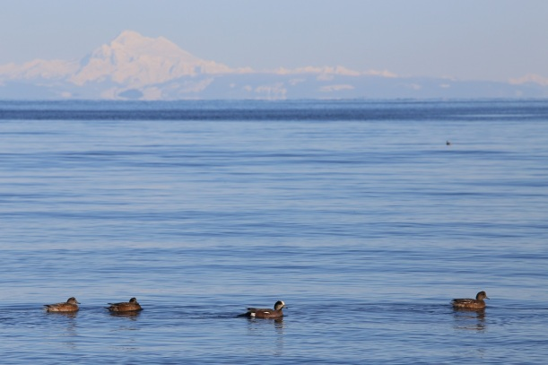 Widgeons and Rainer