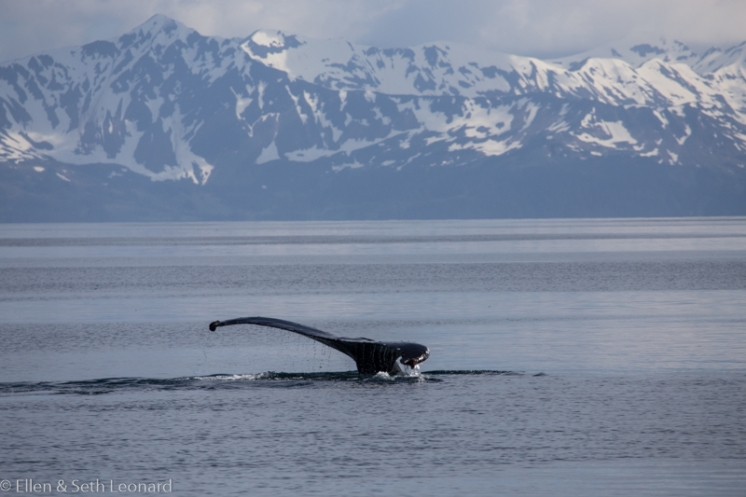 Whale in Prince William Sound