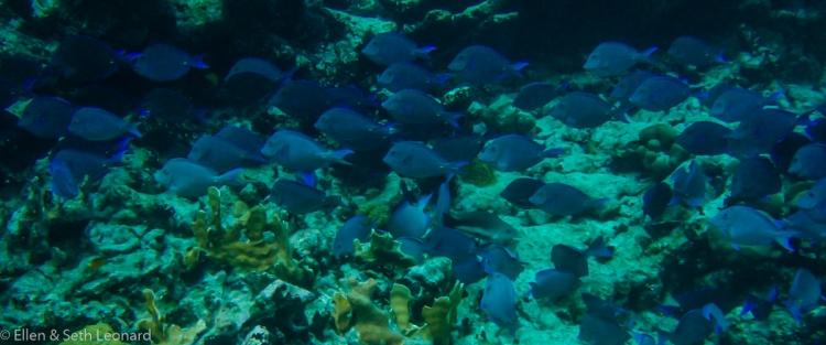Blue Tangs-3