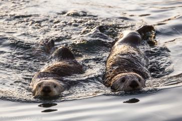 Sea otters underway