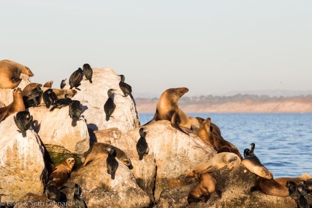 Sea lions, Monterey