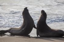 Sparring elephant seals