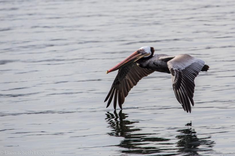 Pelican at Marina del Rey breakwater