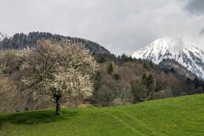 Flowering tree in pasture